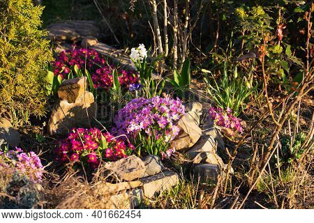 Perennial Primrose Or Primula In The Spring Garden. Spring Primroses Flowers, Primula Polyanthus. Pu