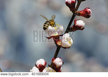 The Bee Pollinates The Apricot Tree In Early March. Bees On Flower Buds In Spring. White Delicate Ap