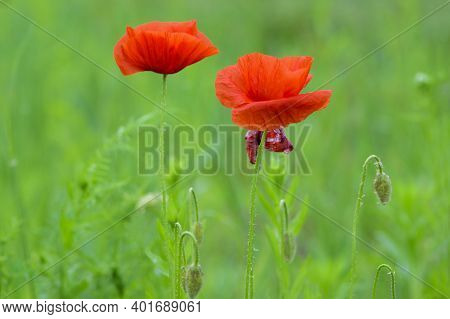 Delicate Red Poppy Flowers. Picturesque May Contrasts. Create A Mood. Poppies Bloom In The Garden. D