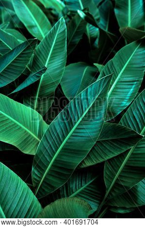 Tropical Banana Leaf Texture In Garden, Abstract Green Leaf, Large Palm Foliage Nature Dark Green Ba