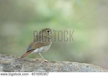 Rufous-tailed Robin, Beautiful Brown Bird With Red Tail And Stripe Chest Nice Posting On Rock In Its