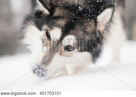 Young Alaskan Malamute Playing With Snow. Snowy Nose. Dog Winter.
