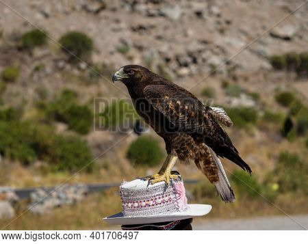 Tame Bird Of Prey Sitting On Traditional Hat In Colca Canyon Arequipa Peru In South America Hawk Fal