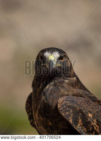 Bird Of Prey Looking Straight At Camera In Colca Canyon Arequipa Peru Tame Hawk Falcon In South Amer