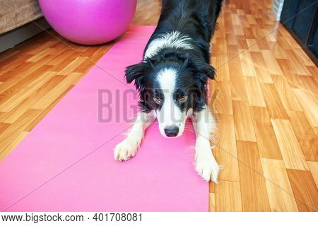 Funny Dog Border Collie Practicing Yoga Lesson Indoor. Puppy Doing Yoga Asana Pose On Pink Yoga Mat