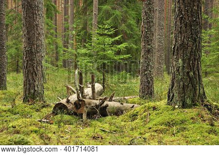 Felled Trees In A Coniferous Forest. Deforestation.