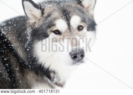 Young Alaskan Malamute Looking Back In Snow. Dog Winter.