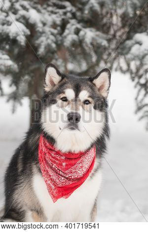 Young Alaskan Malamute Sitting In Red Scarf. Dog Winter Forest