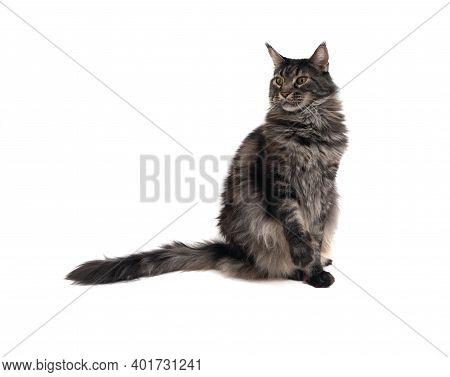 Curious Tabby Maine Coon Cat Sitting On White