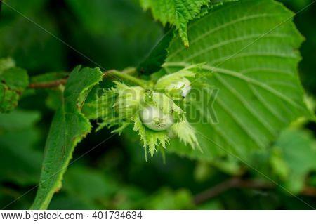 Young Hazelnuts, Green Hazelnuts, Grow On A Tree Young Hazelnuts, Hazelnuts, Kobnat. Hazelnut With L