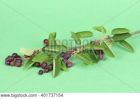 Branch With Berries Amelanchier, Shadbush, Shadwood, Shadblow, Serviceberry, Sarvisberry,   Juneberr