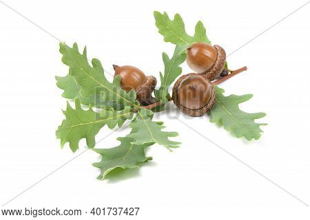 Three Acorn Connected By An Oak Tree Branch. Isolated On White Background. High Resolution Photo. Fu