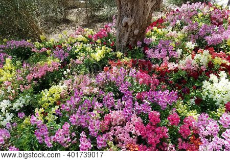 Landscape Background With A Mix Of Multicolored Snapdragon Flowers In Full Bloom.