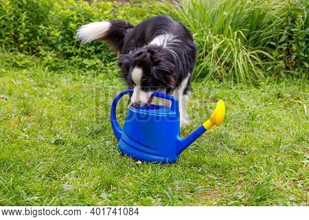 Outdoor Portrait Of Cute Smiling Dog Border Collie Holding Watering Can On Garden Background. Funny