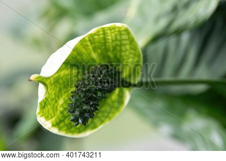 Peace Lily (spathiphyllum Cochlearispathum) Flower Or White Calla Lily