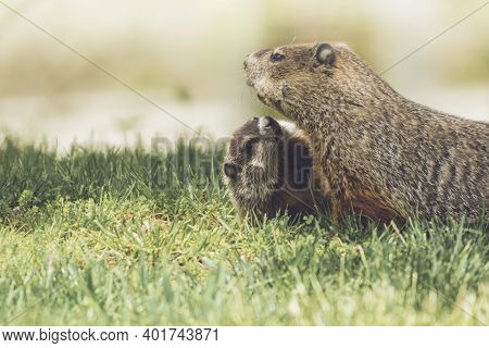 Young Groundhog Kit, Marmota Monax, Cuddles Next To Mother Groundhog In Grass In Springtime
