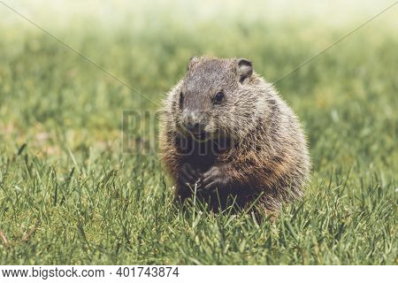 Young Groundhog, Marmota Monax, Cuddles Next To Mother Groundhog In Grass In Springtime