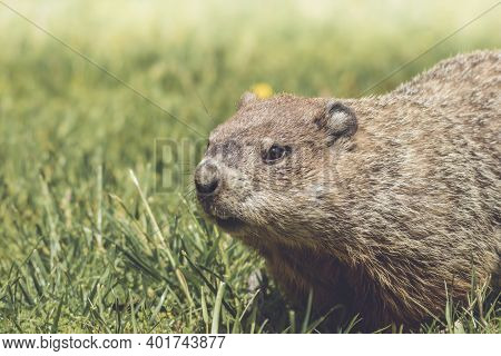 Young Groundhog, Marmota Monax, Walking In Grass In Springtime