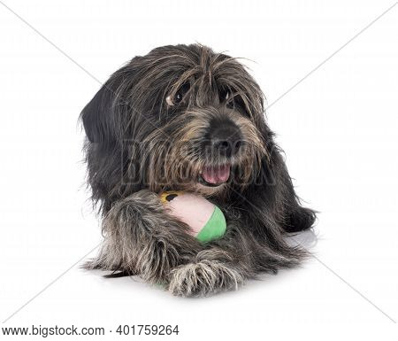Pyrenean Sheepdog In Front Of White Background