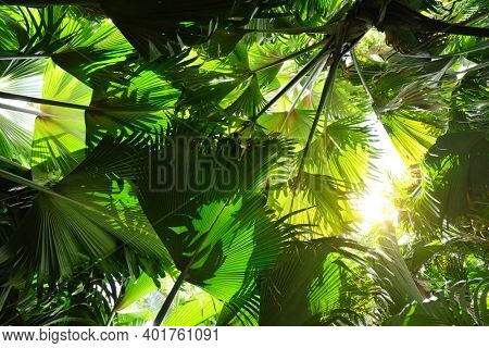 Fresh green leaves Coco de mer coconut tree ¨( Lodoicea maldivica )  endemic species of palm tree growing only in the Seychelles. Tropical rain forest on Praslin Island.