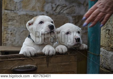 Funny Central Asian Shepherd Puppies Looking At Clapping Puppy Palms. Two Turkmen Alabai Puppies. Do