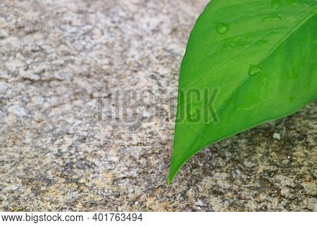 Vibrant Green Leaf With The Morning Dewdrops Against A Rough Rock