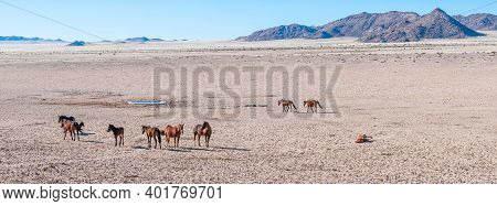 Panoramic View Of Wild Horses Of The Namib At The Waterhole At Garub Near Aus