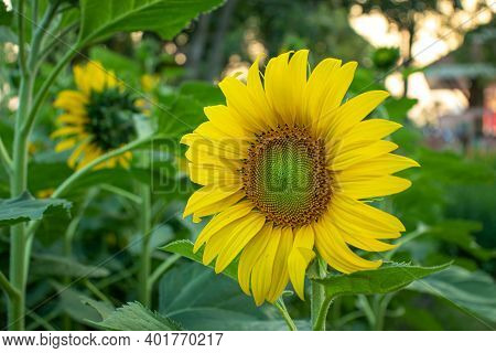 Sunflower (helianthus Annuus) , In The Family: Asteraceae (compositae),sunflower. A Photograph Of A