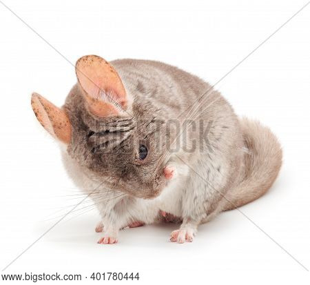 Little Gray Chinchilla Isolated On White Background.
