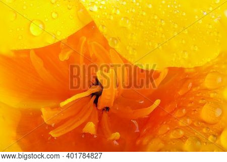California Orange Poppy Extreme Macro With Water Drops. Petals And Stamen Inside The Flower Head.