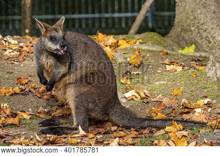 The Red Kangaroo, Macropus Rufus Is The Largest Of All Kangaroos, The Largest Terrestrial Mammal Nat