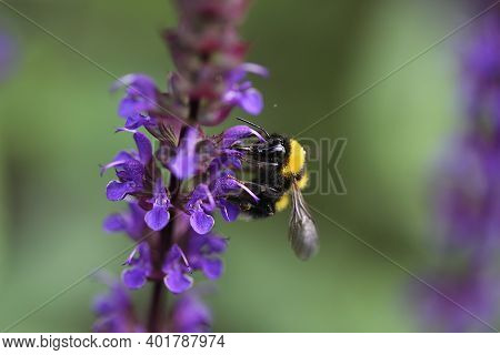 Bumblebee Sucks Nectar From A Flower. High Quality Photo