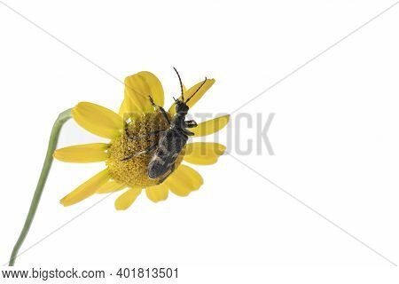 Yellow Daisy Bud And Woodcutter Barbel Beetle, Cerambycidae, Climbs The Inflorescence Of A Yellow Da