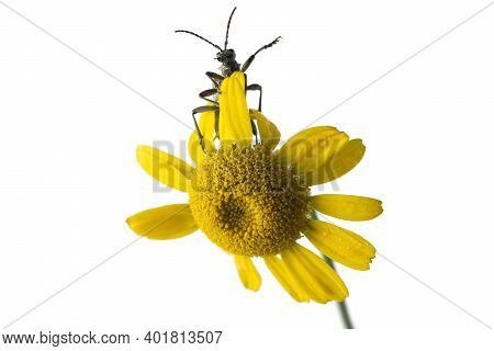 The Woodcutter Barbel Beetle, Cerambycidae, Climbs The Inflorescence Of A Yellow Daisy. He Waves His