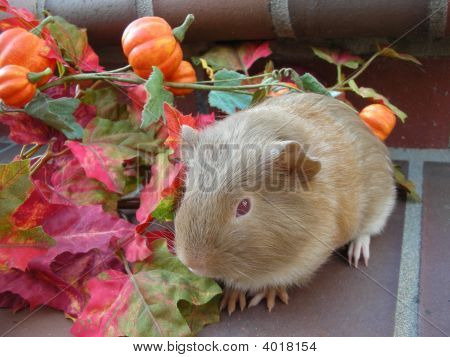 Lilac red and white roan American baby guinea pig with autumn leaves and miniature pumpkins on a vine poster