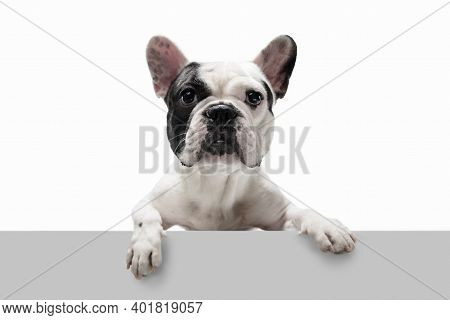 Beautiful Model. French Bulldog Young Dog Is Posing. Cute Playful White-black Doggy Or Pet Is Playin