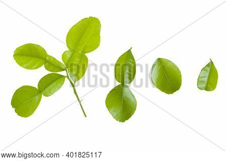 Kaffir Lime Leaves  Isolated On White Background. Small Leaves, Large Leaves, The Leaves Attached To