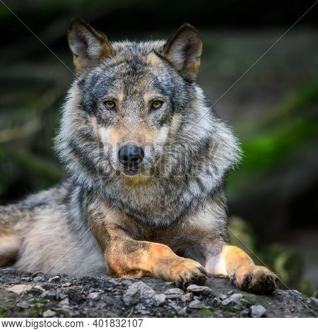 Gray Wolf, Canis Lupus, In The Summer Light, In The Forest. Wolf In The Nature Habitat