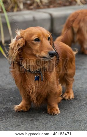 Long-haired Dachshund Out For A Walk