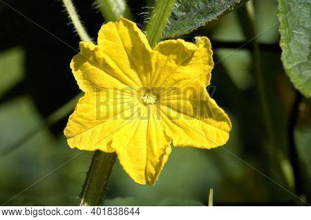 Flower Of Gherkin Or Pickle, Cucumis Sativus, Vegetable Garden In Normandy