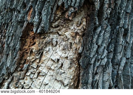 A Detail Of The Tree´s Trunk. The Bark Is Given Away And The Traces From Worms, From The Pest Infest
