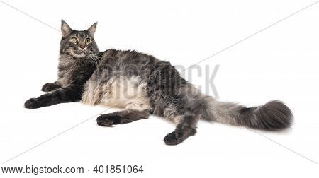 Portrait Of Domestic Tabby Maine Coon Cat.