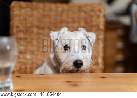 Cute Parson Russell Terrier Looks Over A Table