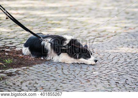 Leashed Dog Lies On Cobblestone Pavement