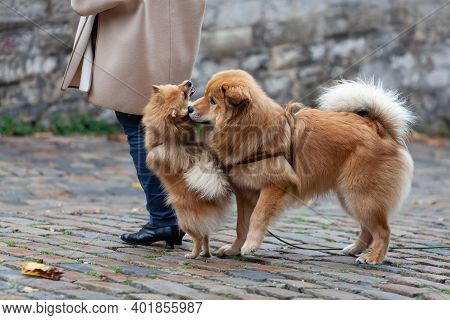 Elo Dog And A German Miniature Spitz Playing Outdoor