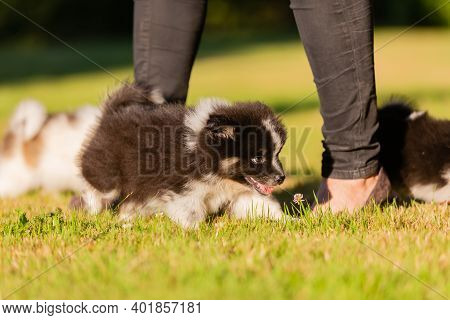 Elo Puppies Playing Around The Feet Of A Woman