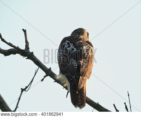 Red Tailed Hawk: On A Morning Hunt On This Cloudy Overcast Day As The Red Tailed Hawk Bird Of Prey L