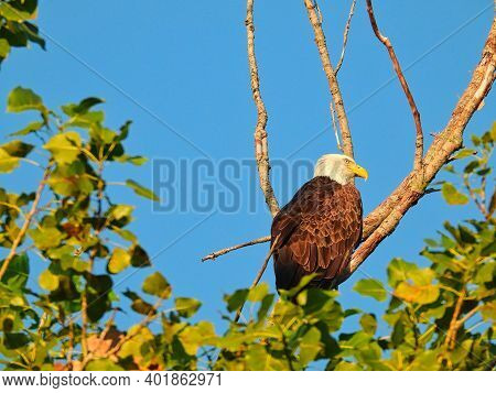 Bald Eagle On Branch: Closeup Of A Profile View Of A Bald Eagle Bird Of Prey Perched On A Dead Branc