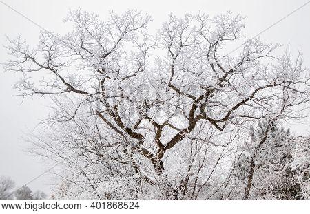 An Oak Tree Covered In Frozen Fog (hoar Frost)