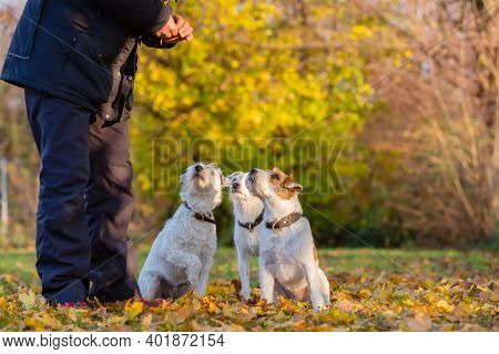 Man With Three Parson Russell Terrier Outdoor In Autumn